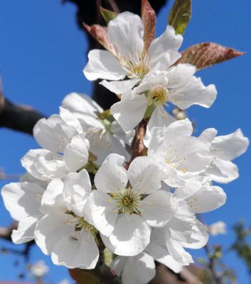 Kirschblüte im April 2020