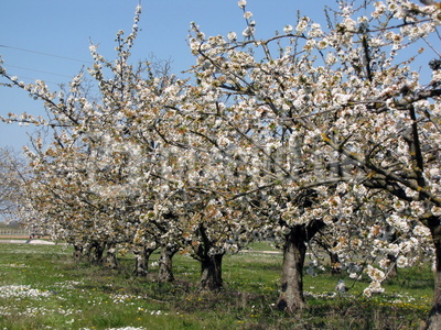 Blühende Kirschbäume nach Frosttagen