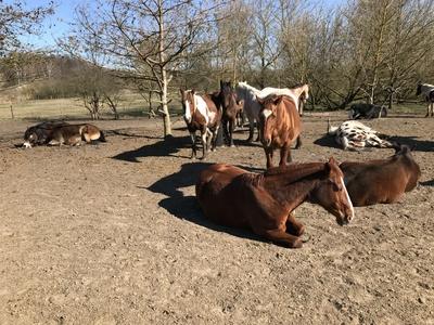 Pferde auf der Weide chillen in der Sonne