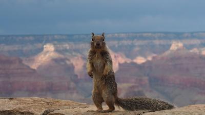 Squirrel am Grand Canyon
