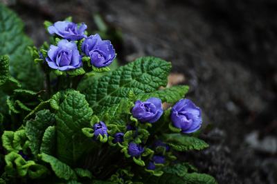 Blaue Primel