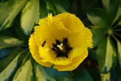 Gelbe Papageientulpe