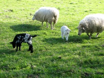 Kinderstube bei den Schafen