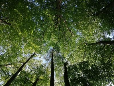 Buchenwald Baumkronen von unten