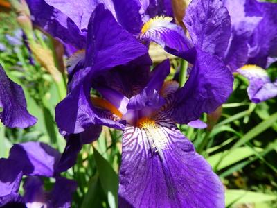 Violette Blüte