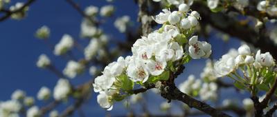 Weisse Obstblüte