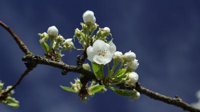 Blühender Apfelast