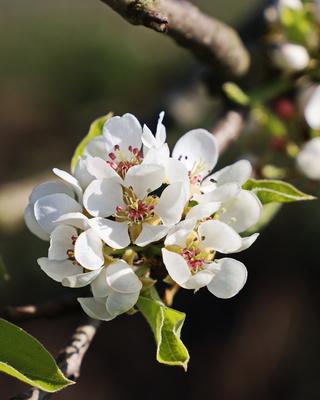 birnen - blüten im sonnenlicht