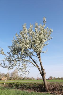 birnbaumblüte in schieflage
