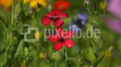 Roter Lein