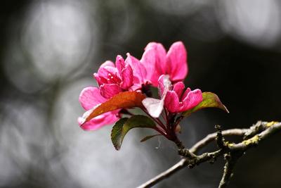 Zierapfelblüte