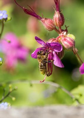 Biene beim naschen