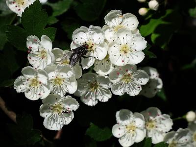 fliege auf weißdornblüten