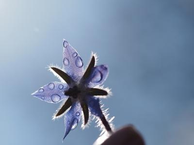 borretschblüte