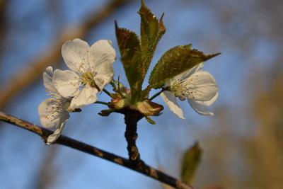 Kirschblüte mit grüne Blätter
