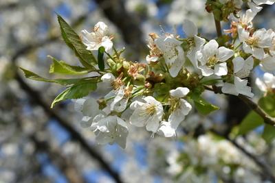 mehrere Kirschblüten am Kirschbaum