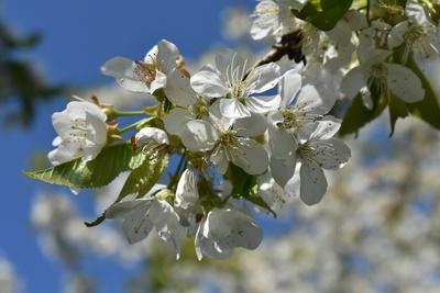 Kirschblütenkranz groß