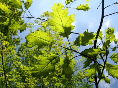 Junge Eichenblätter