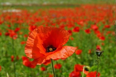 rotes Blütenmeer