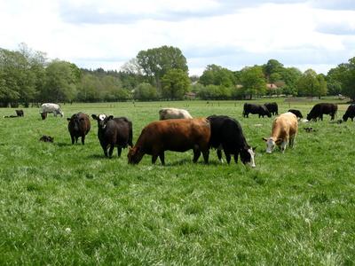 Kuh und Kalb gemeinsam auf der Weide