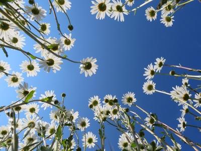 Margeriten unter strahlend blauem Himmel