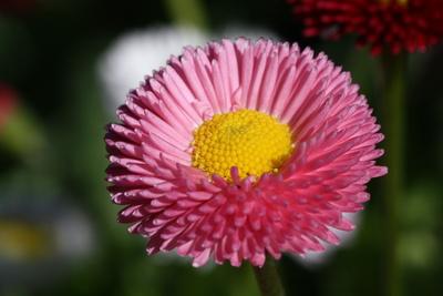 Bellis in rosa