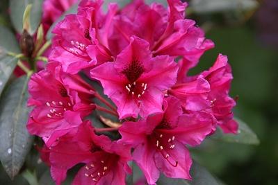 Rhodedronblüte