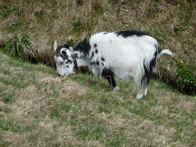 Eine  Ziege