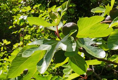 Feigenbaum mit Frucht