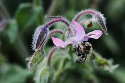 borretsch als ausdauernde bienenweide