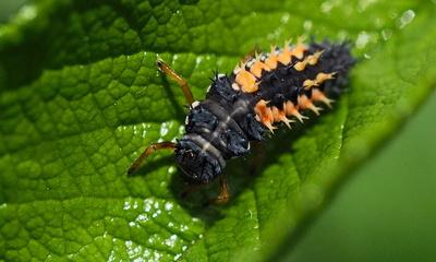 larve eines marienkäfers