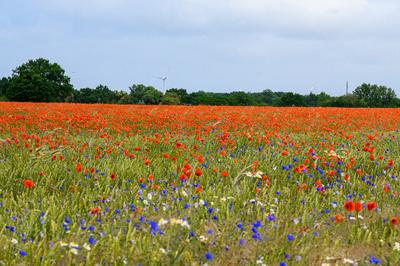 Rotes Blumenmeer