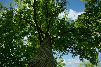 Unterm Eichbaum