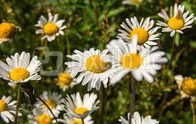 Margeriten Blüten