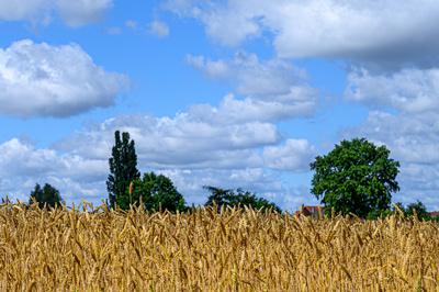 Der Weizen reift