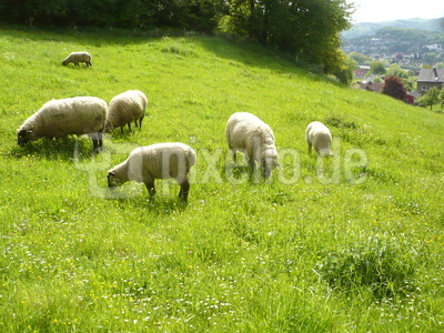 Lauter  Schafe