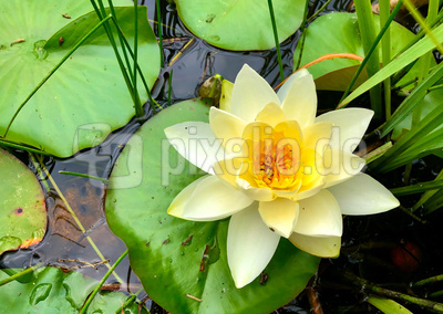 Weiße Schönheit im Teich