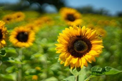 Sonnenblumen-Bokeh