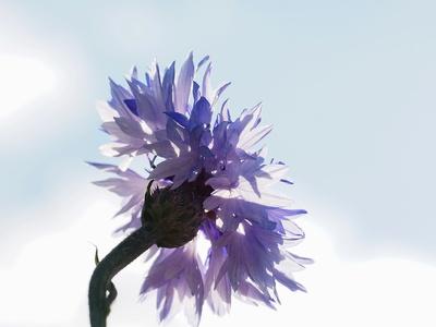 kornblumenblau 2
