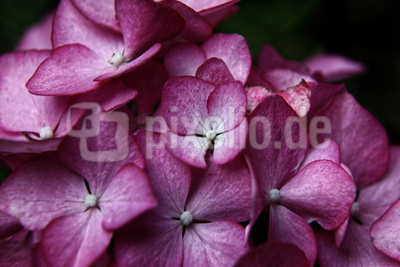 rosa Hortensie