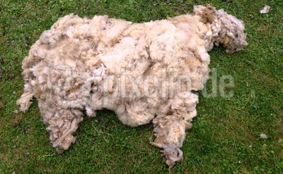 Doch kein Schaf