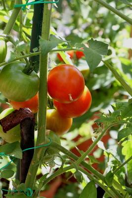 Sommerzeit=Tomatenzeit