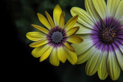 gelbe Schönheiten
