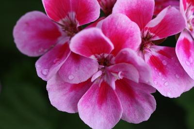 Geranienblüte mit Regentropfen