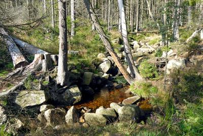 Urwald auf dem Brocken