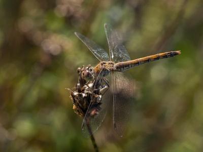 Heidelibelle - Weibchen