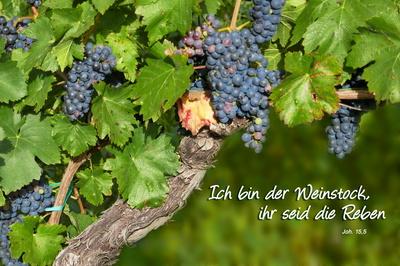 Weinstock und Reben...