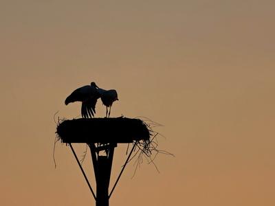 storchenliebe bei sonnenuntergang