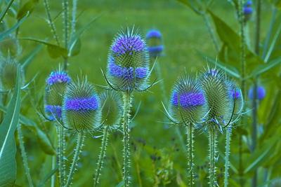 Blütenstand der Wilden Karde