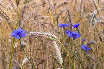 blaue Farbtupfer im Getreidefeld